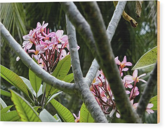 Kalachuchi Flowers Wood Print by Andre Salvador