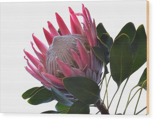 King Protea. Wood Print