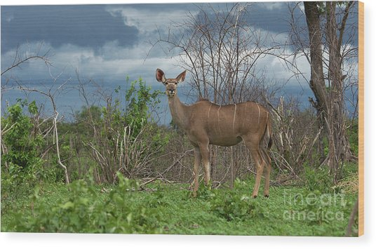 Kudu Female Posing Wood Print