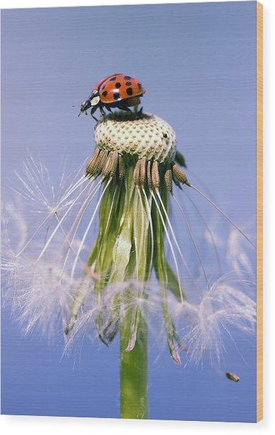 Ladybugs Dandelion Wood Print by Falko Follert