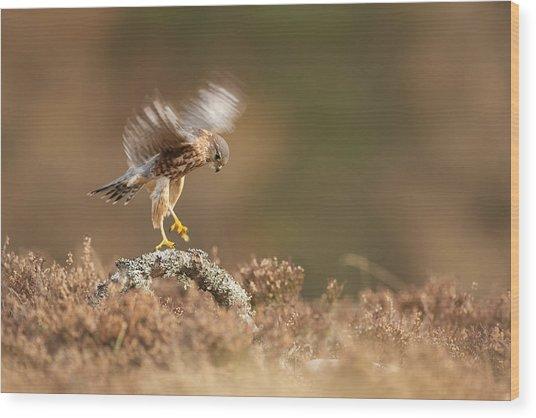 Landing Merlin Falco Columbarius   Wood Print by Nigel  Atkinson
