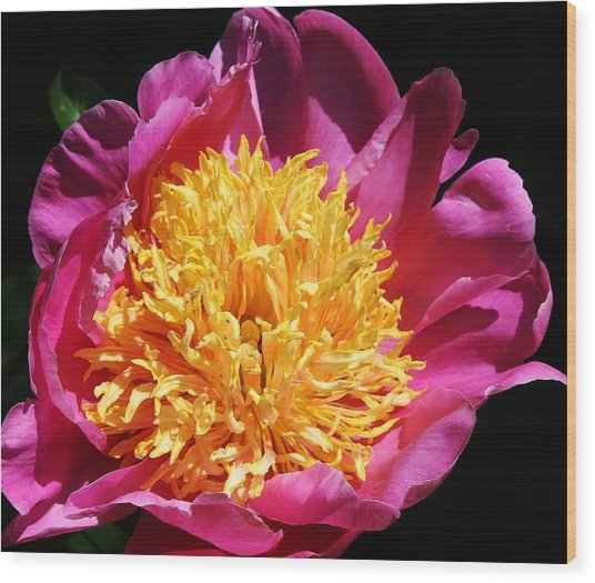 Large Pink Peony Wood Print by Bruce Bley