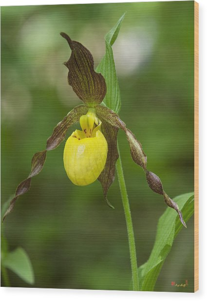 Large Yellow Lady Slipper Orchid Dspf0251 Wood Print