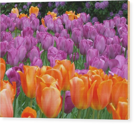 Lavender And Orange Tulips Wood Print by Larry Krussel