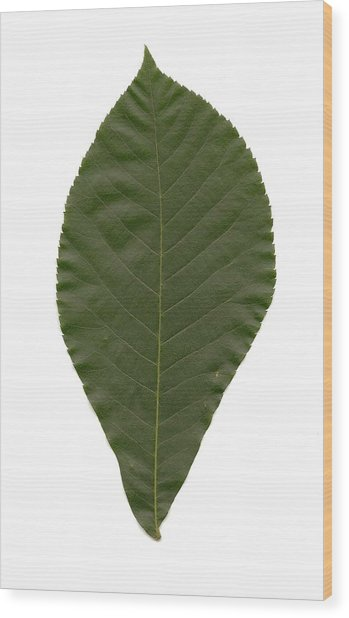 Leaf Of Mockernut Hickory Wood Print by Mary Ann Southern
