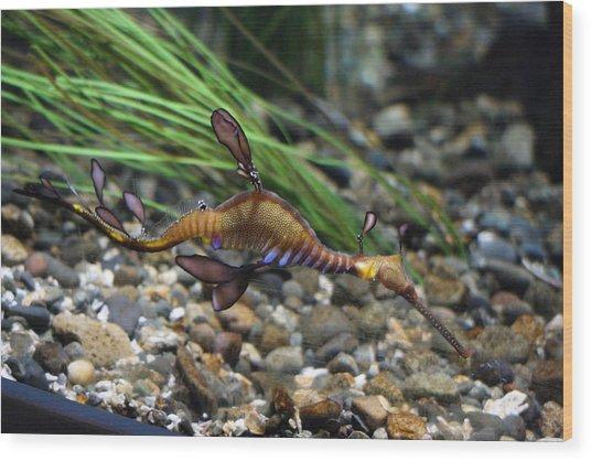 Leafy Dragon Seahorse - 0001 Wood Print