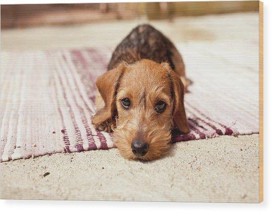 Light Brown Dachshund Puppy Wood Print