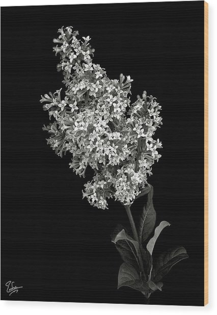 Lilac In Black And White Wood Print