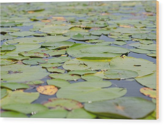 Lily Pads On The Water Wood Print by Margaret Pitcher