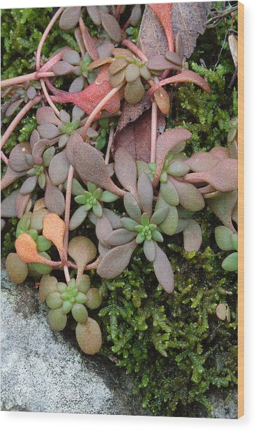 Wood Print featuring the photograph Lime Stonecrop  Leaves In Winter by Daniel Reed