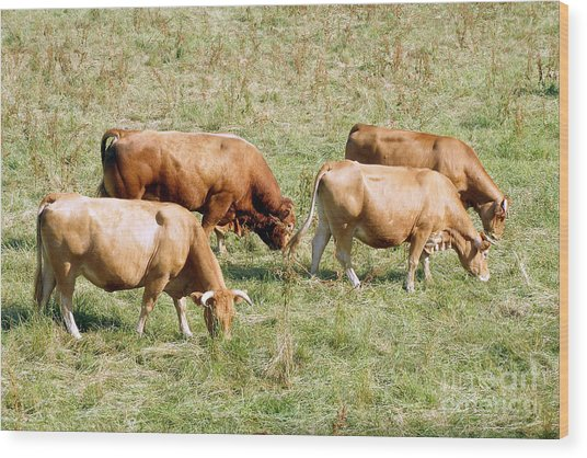 Limousin Cattle In The Summer Wood Print by Rod Jones