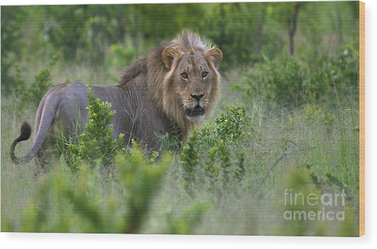 Lion On Patrol Wood Print