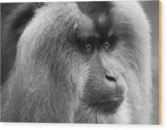 Lion-tailed Macaque Wood Print