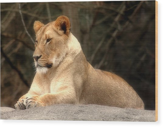 Lioness - Queen Of The Jungle Wood Print