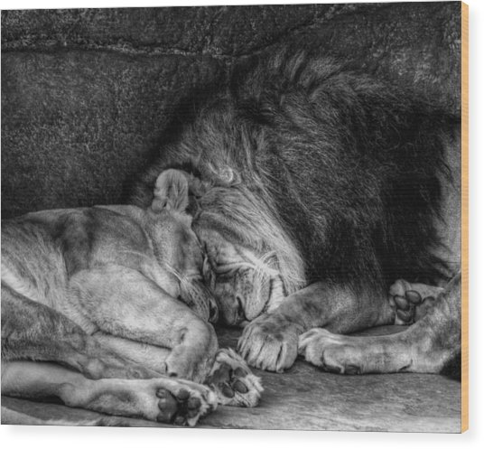 Lions Sleep Tonight Wood Print