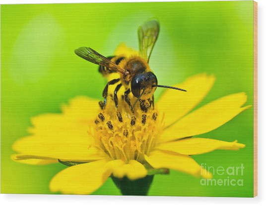 Little Bee In Yellow Flower Wood Print by Peerasith Chaisanit
