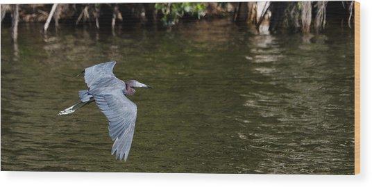 Little Blue Heron In Flight Wood Print by Mike Rivera
