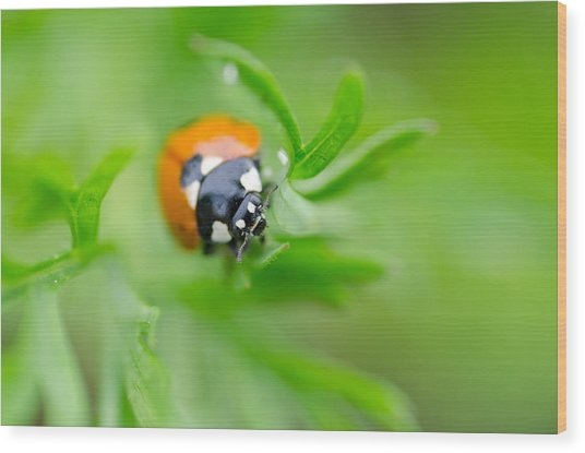 Little Climbing Lady Bug Wood Print