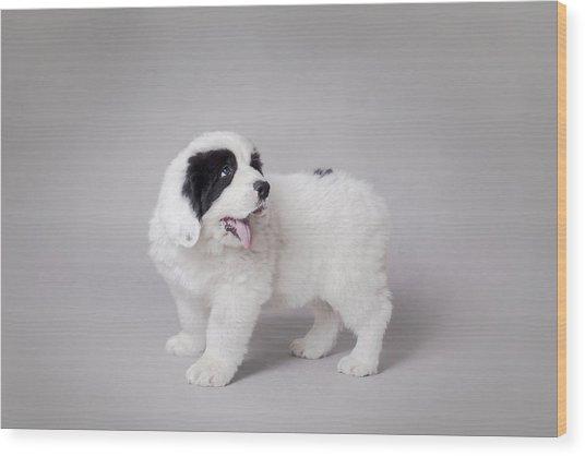 Little Landseer Puppy Portrait Wood Print by Waldek Dabrowski