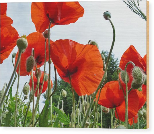 Lonely Withering Poppies Wood Print