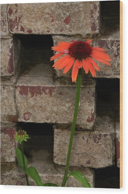 Lonely Zinnia On Wall Wood Print