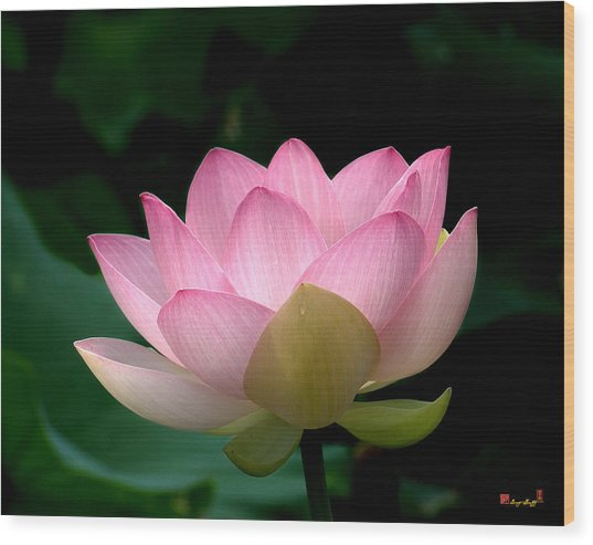 Lotus Beauty--blushing Dl003 Wood Print