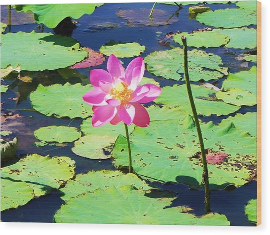 Lotus Flower Wood Print by Jarrod Faranda
