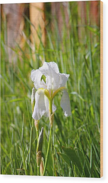 Lovely White Iris In Field Of Grass Wood Print
