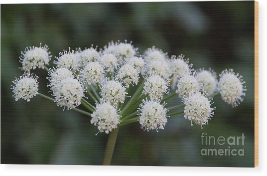 Wood Print featuring the photograph Lyall's Angelica by Katie LaSalle-Lowery