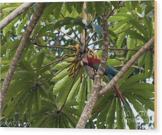 Macaw At Ease Wood Print