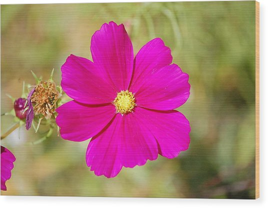 Magenta In Bloom Wood Print