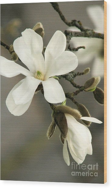 Magnolia Wood Print by Frank Townsley