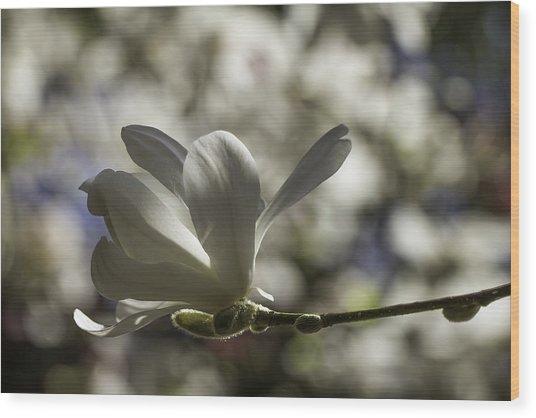 Magnolia X Loebneri  Merrill. Wood Print