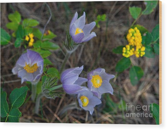 Mahonia And Pasqueflowers Wood Print