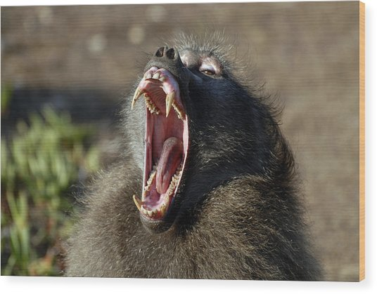 Male Chacma Baboon Wood Print by Peter Chadwick