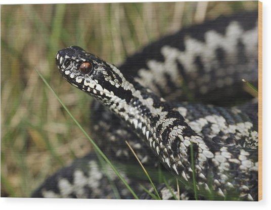 Male Common European Adder Wood Print by Colin Varndell