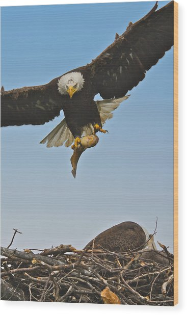 Male Eagle With Dinner Wood Print