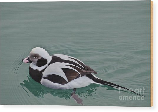 Male Long Tailed Duck In Winter Plumage Wood Print