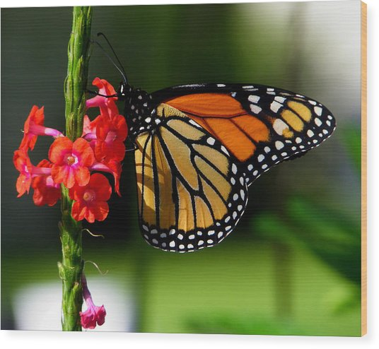 Male Monarch On Red Porterweed Wood Print by Judy Wanamaker