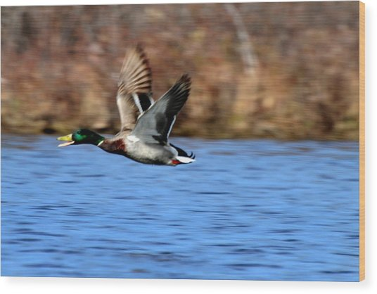 Mallard In Flight Wood Print