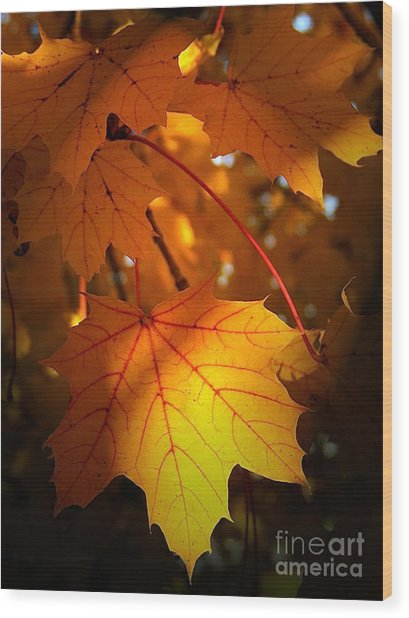 Maple At First Light Wood Print