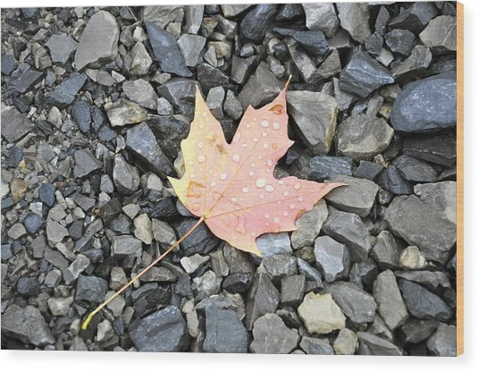 Wood Print featuring the photograph Maple Leaf In The Rain by Rosemary Legge