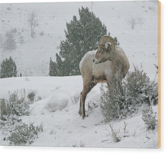 Wood Print featuring the photograph March Ram by Katie LaSalle-Lowery