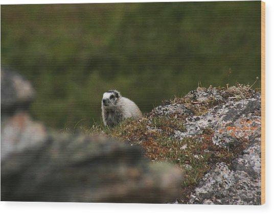 Marmot Denali National Park Wood Print