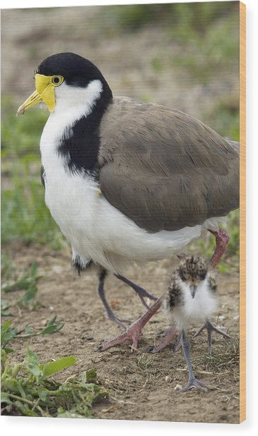 Masked Lapwing And Chick Wood Print