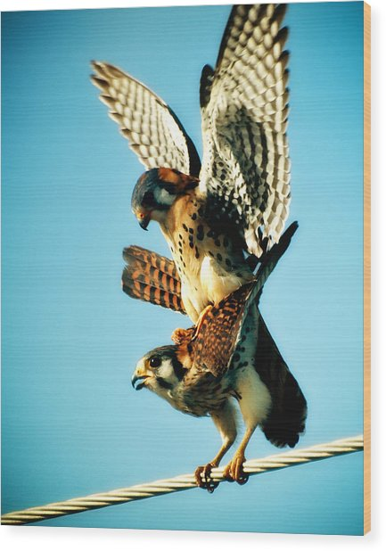 Matting Hawks Wood Print