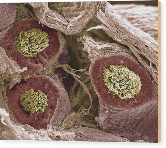 Maturing Sperm, Sem Wood Print by Steve Gschmeissner