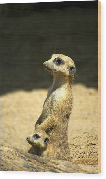 Meerkat Mother And Baby Wood Print
