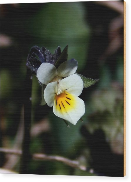 Miniature Pansy2 Wood Print