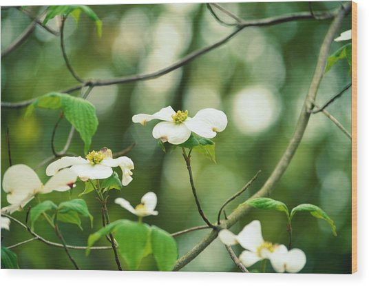 Miracle Of The Dogwood Wood Print